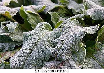 Frosty leaves - Morning frost on plant leaves in late fall