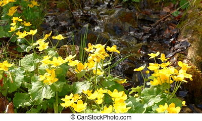 Yellow flowers near creek - Water flowing In a small stream...