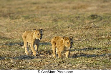 Two young lions Two small young lions go on savanna A yellow...