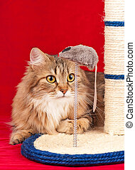 Young siberian cat - Siberian cat playing with scratching...