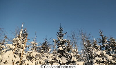 Magic snowy forest trees in lush snow. Christmas Christmas mood.