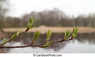 Green buds on the branches of mountain ash, gray forest...