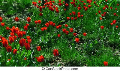 Fragile tulip flowers blossoming at sunny day. FHD stock...