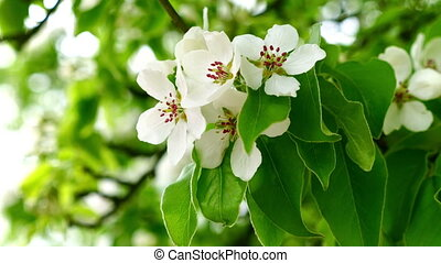 Garden with blossoming apple trees in spring. FHD stock footage.