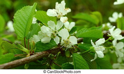 Garden with blossoming apple trees in spring. FHD stock...