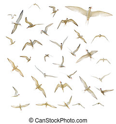 Many seagulls isolated - Large group of seagulls isolated on...