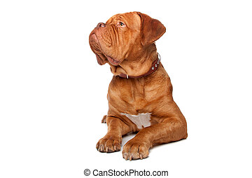 Dogue de Bordeaux French mastiff Isolated on white...
