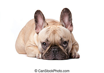 french bulldog - French bulldog in front of a white...