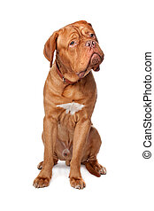 Dogue de Bordeaux (French mastiff). Isolated on white...