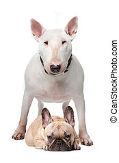 Bull terrier and French bulldog - A white bull terrier and a...