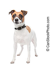 Jack russell terrier (4 years) in front of a white...