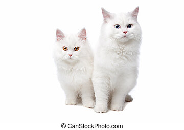 two White cats with blue and yellow eyes. On a white...