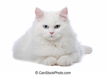 two White cats with blue and yellow eyes - White cat with...