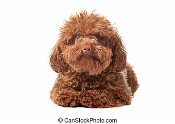 Brown toy poodle with classic grooming in a pose