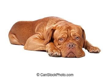 Dogue de Bordeaux (French mastiff). Isolated on white...
