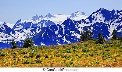 Mount Olympus Purple Lupine Wildflowers Evergreens Snow...