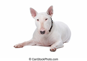 Bull terrier isolated on a white background