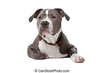 american staffordshire bull terrier isolated on a white...