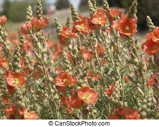 Spear Globemallow Field - A field of orange spear...