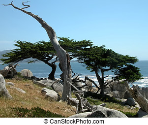 Monterey Cypress - An artistic shot of a trunk rising above...