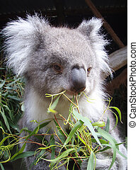Koala Close-Up - Koala close-up from Ballarat Wildlife Park...