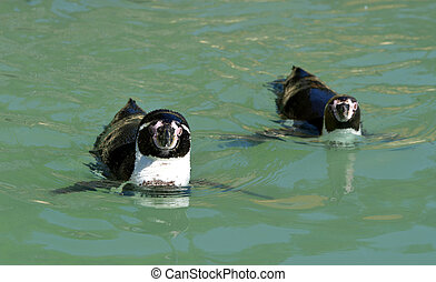 The Humboldt Penguins (Spheniscus humboldti) swimming in the...