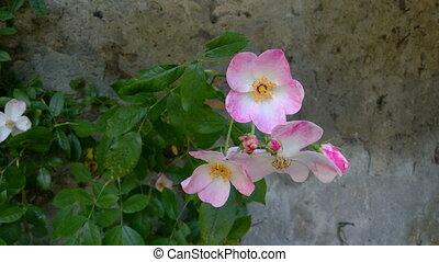 Dog Rose, Rosa Canina - Bush of dog rose (Rosa Canina), a...