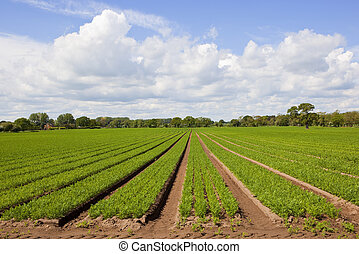 springtime carrot fields - rows of young carrot plants with...