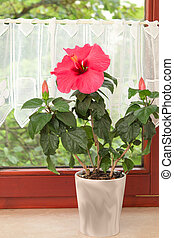 Big pink Hibiscus flower in the pot on window