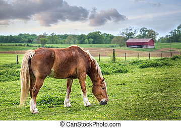 Horse grazing in a field on a Maryland farm in Spring