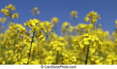 Canola field and insect