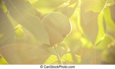 Walnut hanging on walnut tree in sun flares