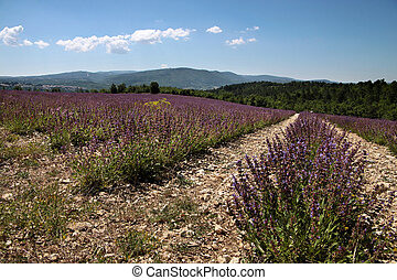 Sage field near the village of Sault in the Haute-Provence,...