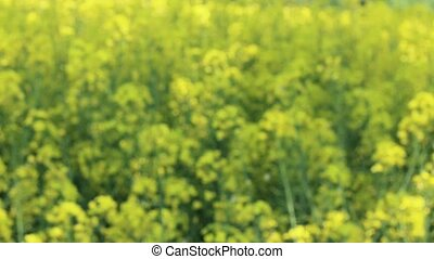 Canola growing field. Beautiful yellow flower and blue sky