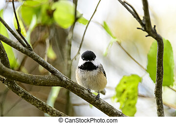 Black-capped Chickadee eye contact - Black-capped Chickadee...