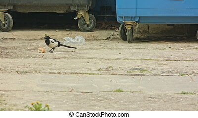 Magpie Eating Bread - Magpie eating a piece of bread in the...