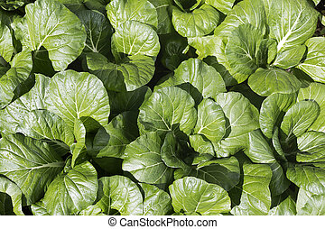 Bok Choy Cabbage - Bok choy or pak choy (Brassica chinensis)...