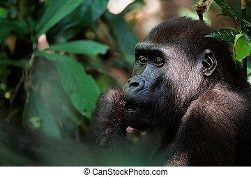 Gorilla eating. - Portrait of Western Lowland Gorilla...