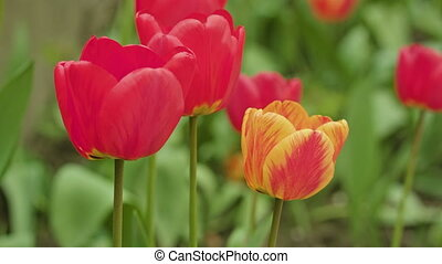 Colourful Tulips Close-up