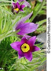 pasque flower 15