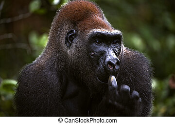 Male of Western Lowland Gorilla - The male of a gorilla...