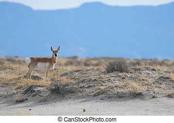 Pronghorn - An adult pronghorn photographed in southern New...