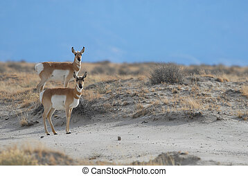 Two Pronghorn - These two pronghorn were photographed in the...