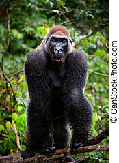 Portrait of male Western Lowland Gorilla.The male of a...
