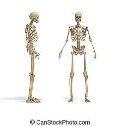 Skeleton - this a 3d render illustration