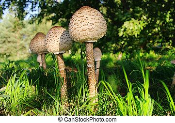 Parasol mushroom 12