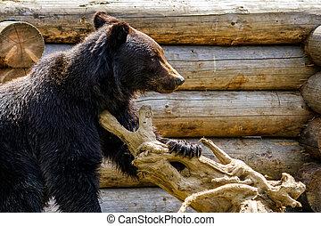 curious little bear in rehabilitation center in Carpathians...