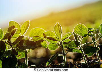 Cultivated soybean furrow, young plants growing in...