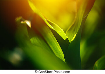 Young corn crop leaves as abstract background, growing maize...