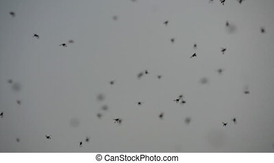 Swarm of mosquitoes flying at summer. A lot of mosquitoes....